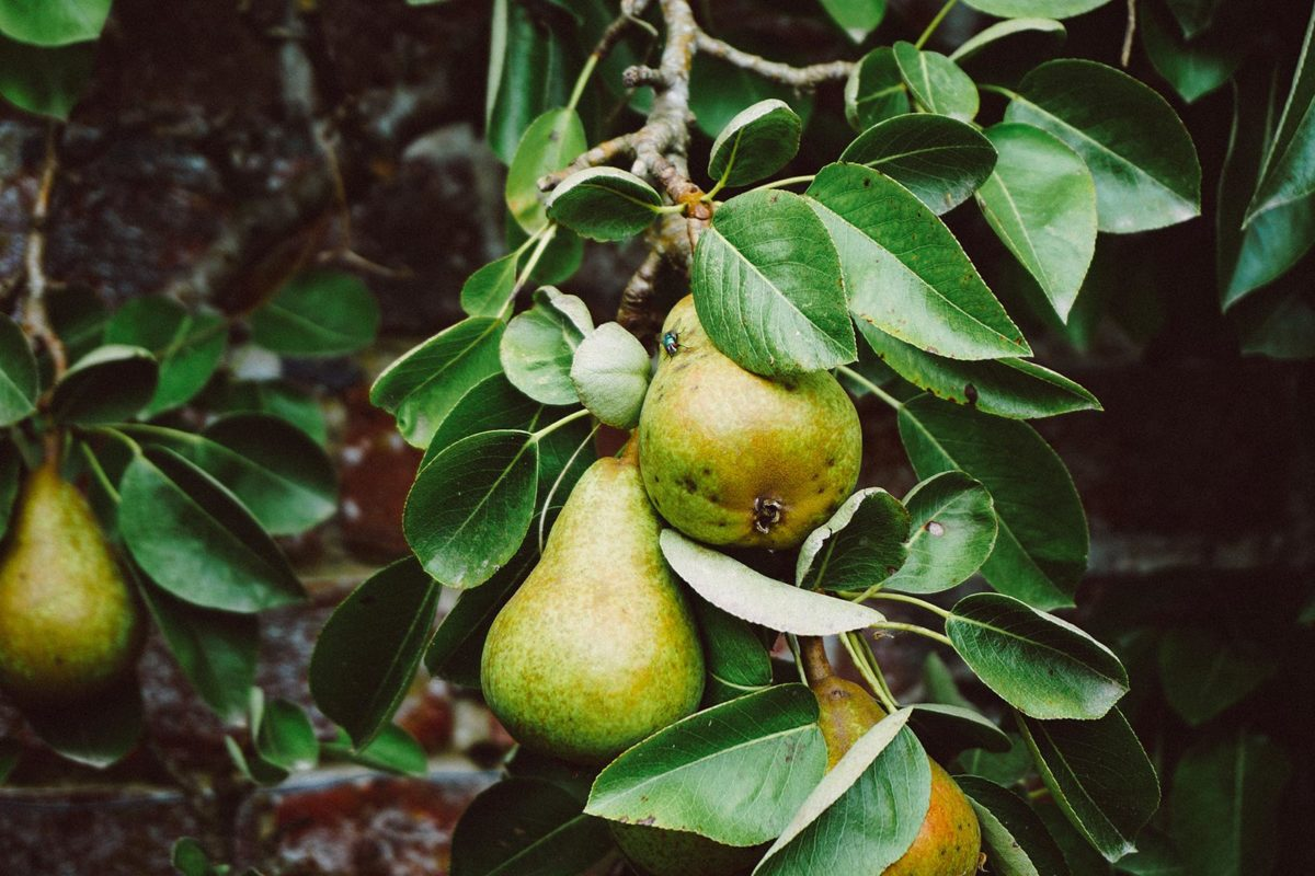 Cough Pear Remedy